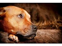 Red Staffy Senior Male Dog Very Handsome Boy and Very Loving with Kids and Dogs