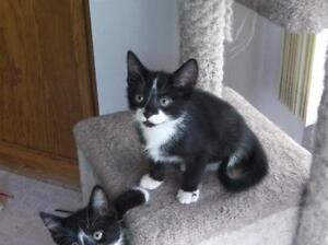 "Baby Female Cat - Domestic Short Hair: ""Marcie"""