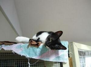 "Young Male Cat - Domestic Short Hair-black and white: ""Ash"""