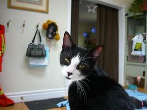"""Young Male Cat - Domestic Short Hair-black and white: """"Sid"""""""
