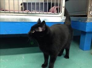 """Adult Male Cat - Domestic Short Hair: """"Snicklefritz"""""""