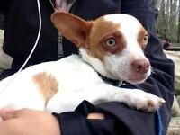 """Young Male Dog - Chihuahua-Jack Russell Terrier: """"Ollie"""""""