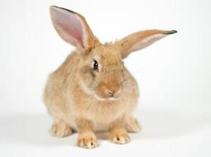 "Adult Female Rabbit - Californian: ""Zoe"""