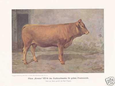 Frankenvieh Gelbvieh Kühe  FARBDRUCK von 1925 Reprint
