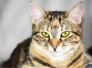 """Young Female Cat - Tabby: """"Violet"""""""