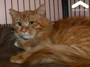 "Adult Male Cat - Domestic Medium Hair: ""Sanka"""
