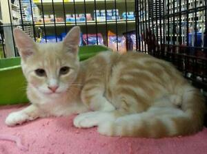 "Young Male Cat - Domestic Short Hair: ""Chip"""