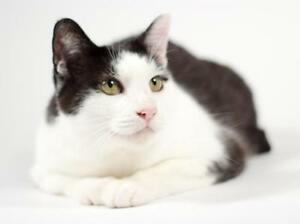 "Adult Female Cat - Domestic Short Hair: ""Penny"""