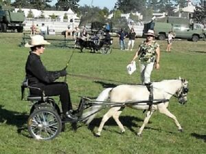 Awesome Miniature Horse Driving Gelding