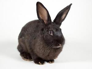 "Adult Male Rabbit - Californian: ""Cola"""