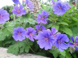 perennial : blue Geranium ... see pictures