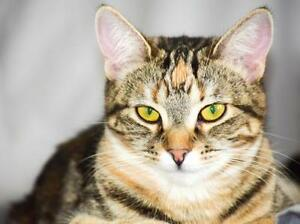 "Young Female Cat - Tabby: ""Violet"""