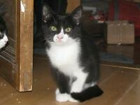"Baby Male Cat - Domestic Short Hair-black and white: ""Sidney"""