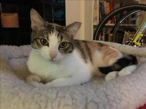 """Young Female Cat - Domestic Short Hair: """"Swirls *foster*"""""""