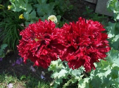 100 GIANT DOUBLE RED PEONY POPPY Papaver ...