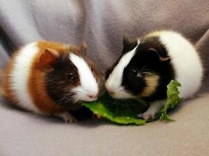 """Baby Female Small & Furry - Guinea Pig: """"Strawberry & Maple"""""""