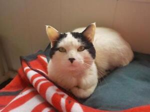"""Adult Female Cat - Domestic Short Hair-black and white: """"Dexter"""""""