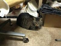 "Adult Female Cat - Tabby - Brown: ""Gracie"""