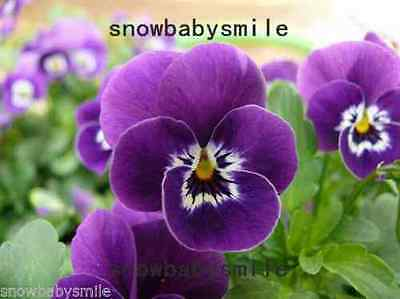 100grams 66000 Viola Tricolor Seeds Johnny Jump Up Violet Flower Hardy Mix Color