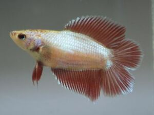 Female betta-Double tail-