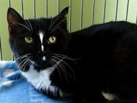 """Young Female Cat - Domestic Short Hair: """"Marcy"""""""