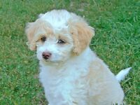 *** READY TO GO NOW*** MINI F1B GOLDENDOODLES  ***