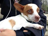 "Young Male Dog - Chihuahua-Jack Russell Terrier: ""Ollie"""