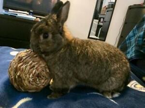"Adult Male Rabbit - Netherland Dwarf: ""Bunjovi"""