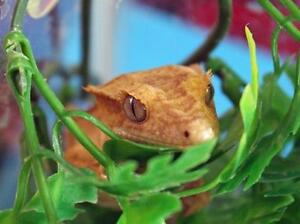 "Young Male Scales, Fins & Other - Gecko: ""Charlie"""