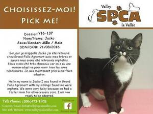 """Young Male Cat - Domestic Short Hair: """"Jacko"""""""
