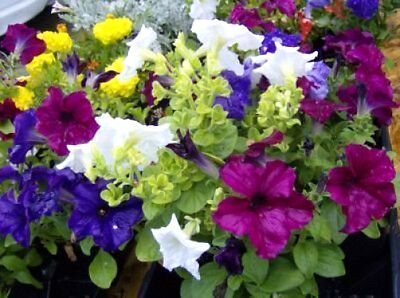 250 MIXED COLORS PETUNIA Flower Seeds + ...