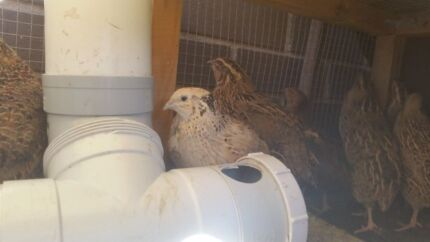 Japanese Quails + hutch and automatic feeder/water system Gungahlin Gungahlin Area Preview