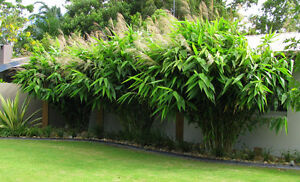 TIGER GRASS - GREAT FOR SCREEN OR POT- LIKE BAMBOO NOT AS LARGE Oxley Brisbane South West Preview