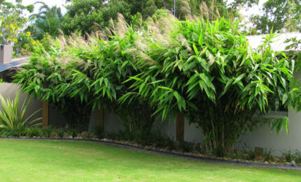 TIGER GRASS - GREAT FOR SCREEN OR POT- LIKE BAMBOO NOT AS LARGE
