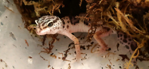 Baby leopard gecko up for adoption