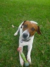 Jack Russell Terrier 'Brownie' - Hunter Animal Rescue Mayfield East Newcastle Area Preview