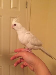 ❤❤ Extremely Friendly COCKATIEL Babies With CAGE ❤❤ Kitchener / Waterloo Kitchener Area image 10