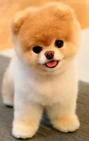LOOKING FOR GROOMER WHO CAN DO THE TEDDY BEAR CLIP