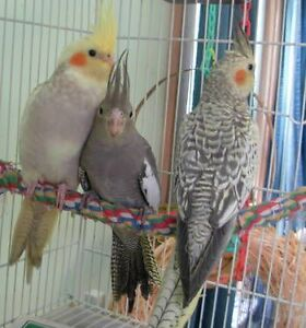 ❤☆☆♥ Cockatiel ♥ Babies with Cage and Food ♥☆☆❤