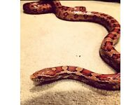 Corn Snake + Everything you need
