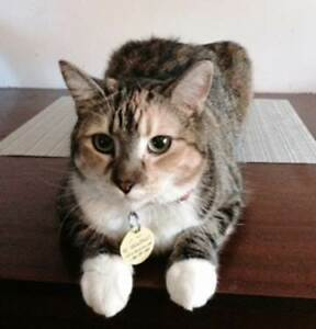 Lost grey tabby with white paws and chest - Fennell & E 22nd