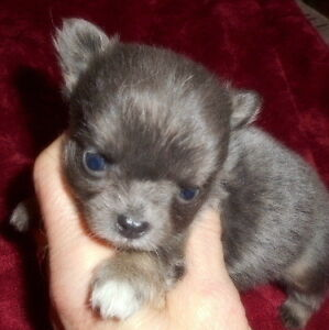 Extra Tiny LONGCOAT CHIHUAHUA PUPS, Blues and Black/tans