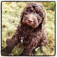 Mini f2 black double doodle puppies ready