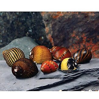 Wanted: Looking for Nerite snails!!!!