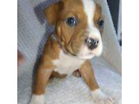 Beautiful Pocket Bully x Staffy Puppies