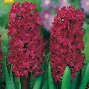 Hyacinth Bulbs