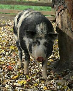 Critically endangered ossabaw island pigs