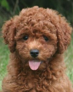 Adorable miniature poodle  just in time for the holidays.