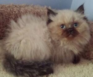 Excellent  Himalayan kittens