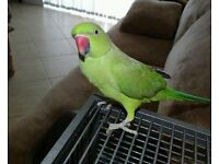 Wonderful baby green ring neck healthy Parrot